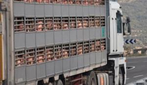 Excesiva regulación en el transporte de animales